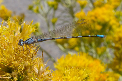 Dragonfly. Mono Basin - Lee Vining, CA, USA