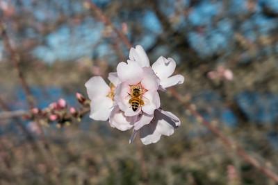 Bee & Cherry Blossoms. Shadow Cliffs Regional Park - Pleasanton, CA, USA