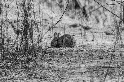 Brush Rabbit (Sylvilagus bachmani). Shadow Cliffs Regional Park - Pleasanton, CA, USA
