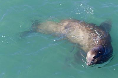 Sea Lion. San Francisco, CA, USA