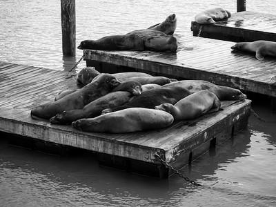 Sea Lions. Pier 39. San Francisco, CA USA