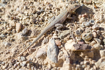 Side-Blotched Lizard (Uta stansburiana). Golden Canyon Interpretive Trail. Death Valley National Park