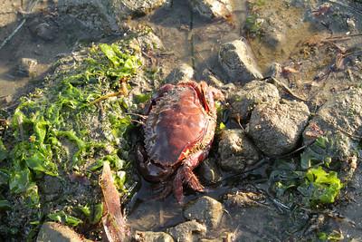 Crab. Mega Low Tide. Half Moon Bay, CA, USA