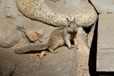 Squirrel. Yosemite Village - Yosemite National Park - California, USA