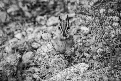 Chipmunk. Glacier Point - Yosemite National Park - California, USA
