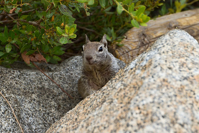 Squirrel. Glacier Point - Yosemite National Park - California, USA