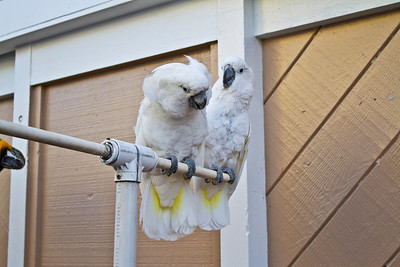 White Cockatoo (Cacatua alba). Fisherman's Wharf - Monterey, CA, USA