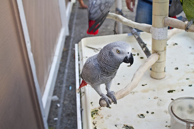 African Grey Parrot (Psittacus erithacus). George's Birds. Fisherman's Wharf - Monterey, CA, USA
