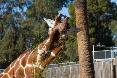 Reticulated Giraffe (Giraffa camelopardalis reticulate). Oakland Zoo - Oakland, CA, USA