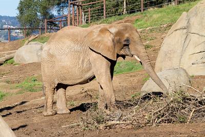 African Elephants (Loxodonta africana). Oakland Zoo - Oakland, CA, USA