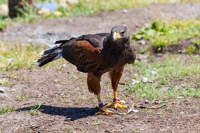 Miguel the Harris's Hawk (Parabuteo unicinctus). Grouse Mountain - North Vancouver, BC, Canada