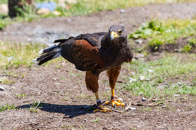 Miguel the Harris's Hawk (Parabuteo unicinctus). Grouse Mountain - North Vancouver, BC, Canada