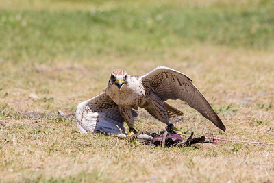 Arrow the Saker Falcon (Falco cherrug). Grouse Mountain - North Vancouver, BC, Canada
