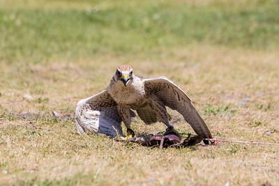 Arrow the Saker Falcon (Falco cherrug). Grouse Mountain - North Vancouver, BC, Canada