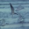 Terns in Flight