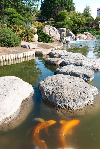 Koi in Japanese Garden