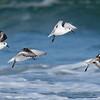 Flight of the Sanderlings