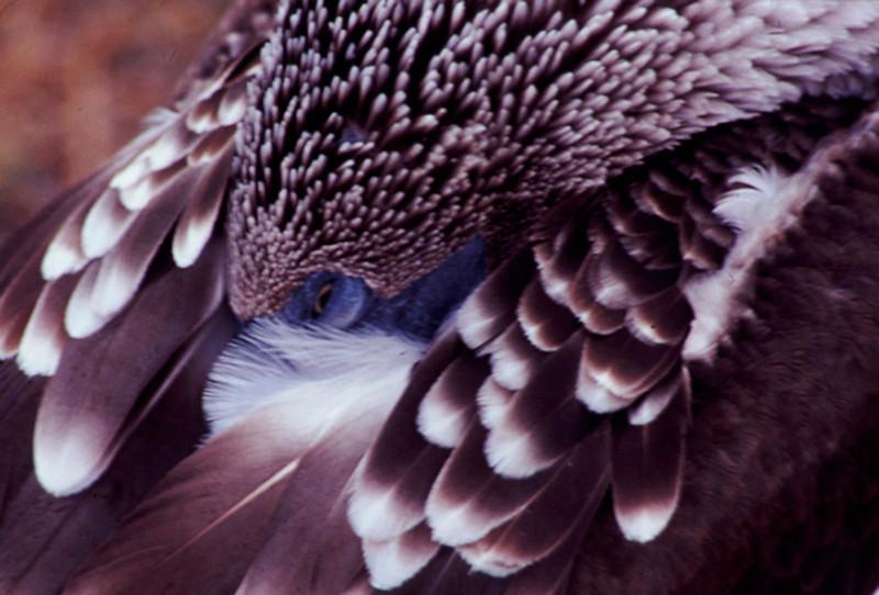 Blue-footed Boobie Eye
