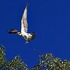 Osprey in flight 2.