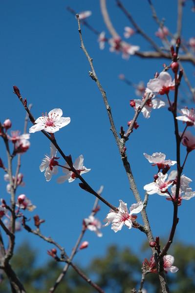 Spring Redbuds