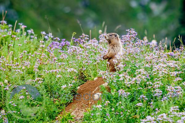 Marmot Garden