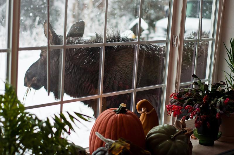 Thanksgiving Day Moose