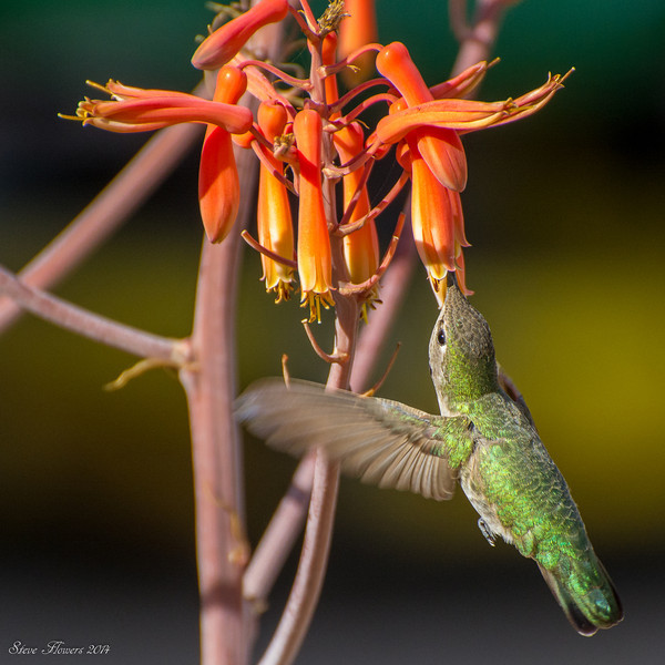 Happy Hour for Hummingbirds