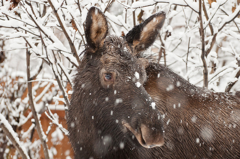 Moose/Photographer Uneasy Truce