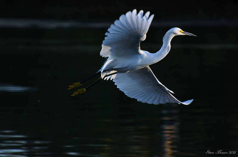Graceful Flight of the Snowy Egret