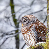 Sleepy Barred Owl