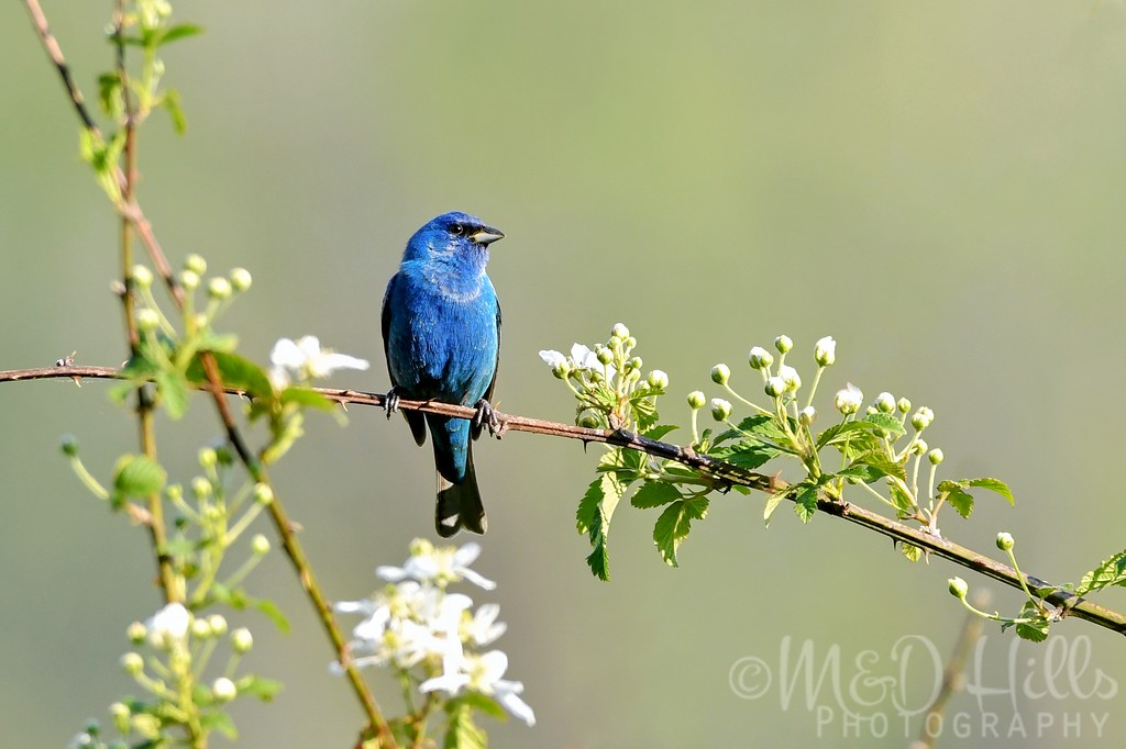 Indigo Bunting In A Blackberry Bush