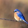 Eastern Bluebird On Frosty Fencewire