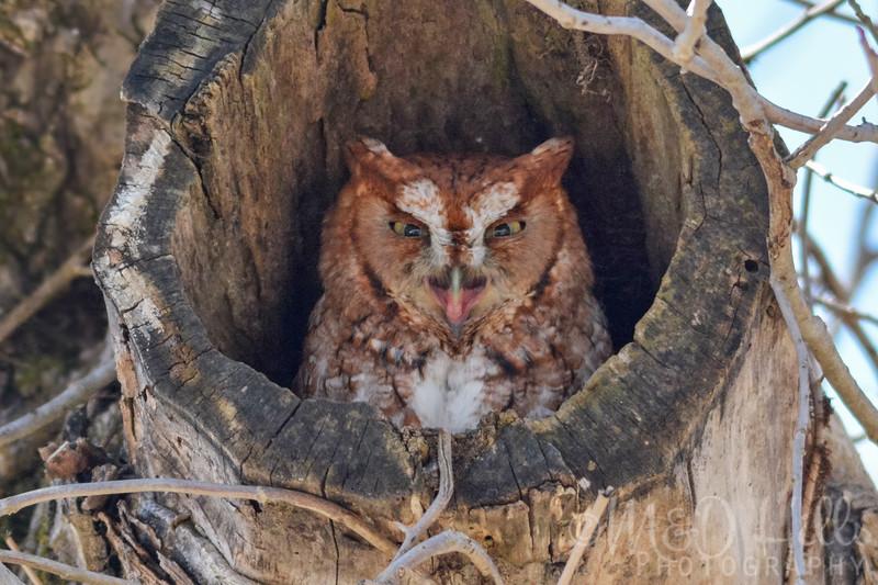 Smiling Eastern Screech Owl
