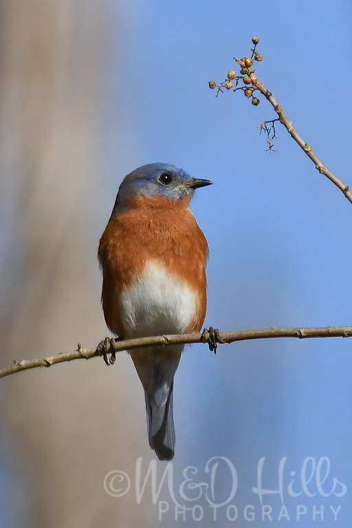 An Eastern Bluebird