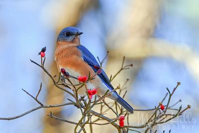 Eastern Bluebird In The Dogwood Berries