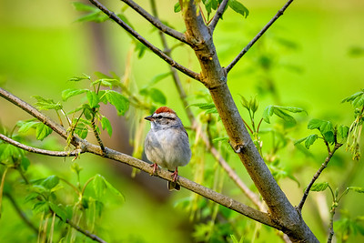 A Chipping Sparrow