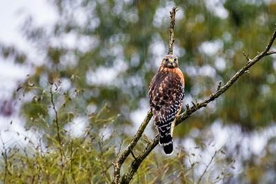 Rainy Day Hawk