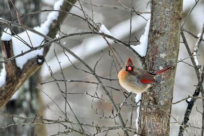 Female Winter Cardinal