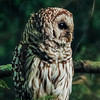 Profile Of A Barred Owl