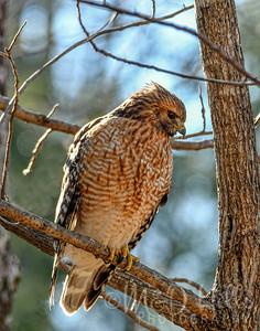 Red-Shouldered Hawk (Vertical)