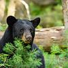 Portrait Of A Mother Bear