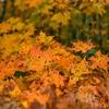 Multi-Colored Maples