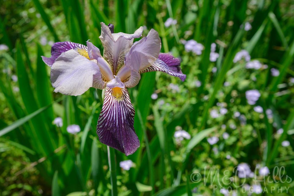 Bearded Iris With Phacelia