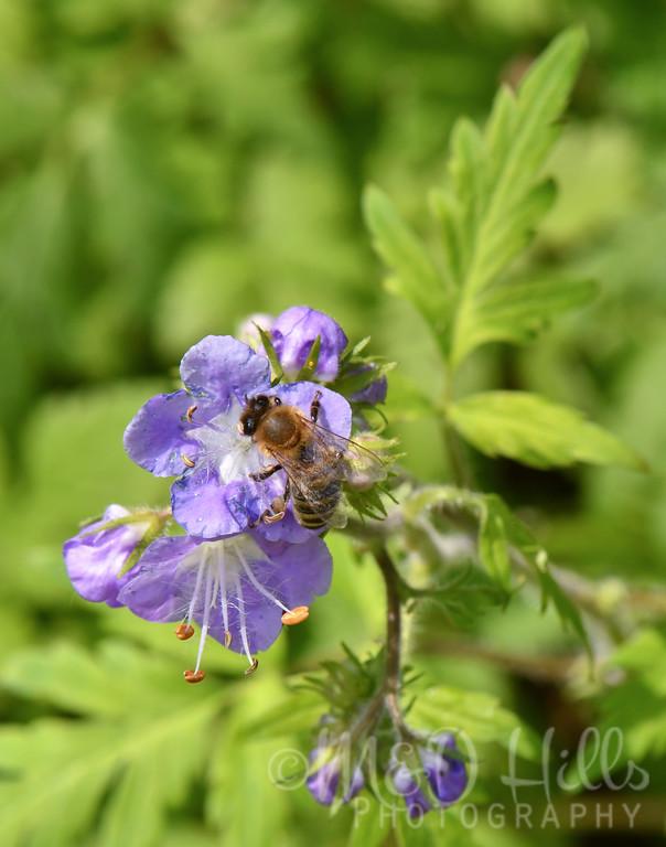 Bumble Bee On Purple Phacelia