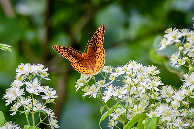 Fritillary On Clematis