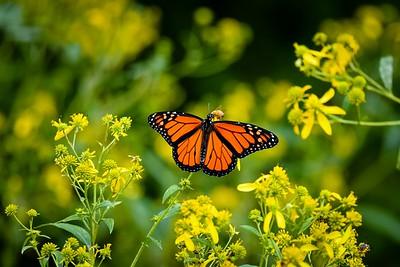 Monarch Butterfly On Wingstem