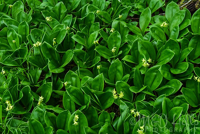 Yellow Bead Lily Plants