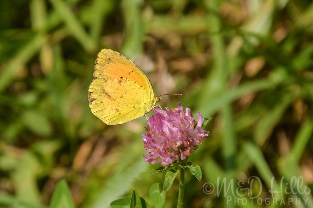 Cloudless Sulphur On Red Clover