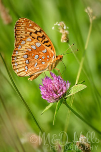 Fritillary Butterfly on Clover