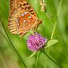 Fritillary Butterfly on Clover
